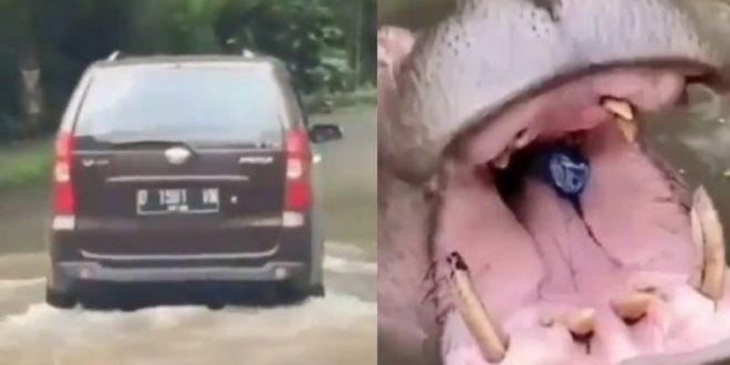 Viral pengunjung lempar sampah ke mulut kuda nil (Twitter/hiboorans)